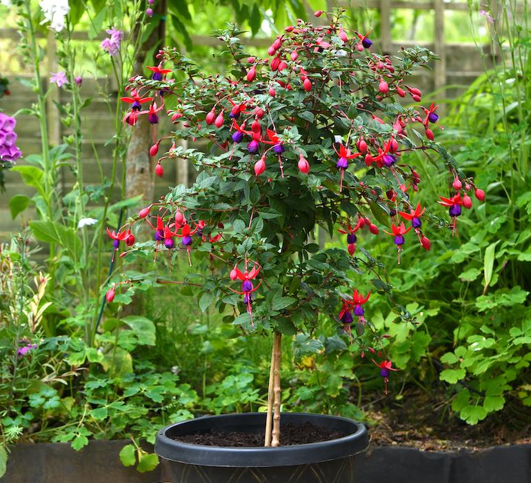 Fuchsia 'Angela' from Thompson & Morgan