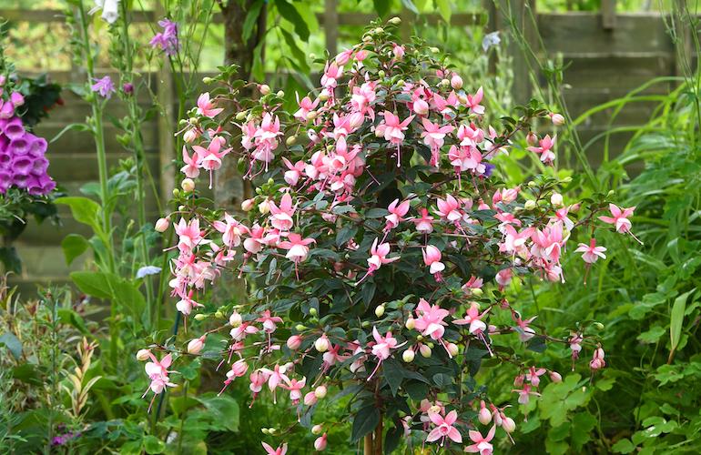 Fuchsia 'Elma' (hardy) (standard) from T&M
