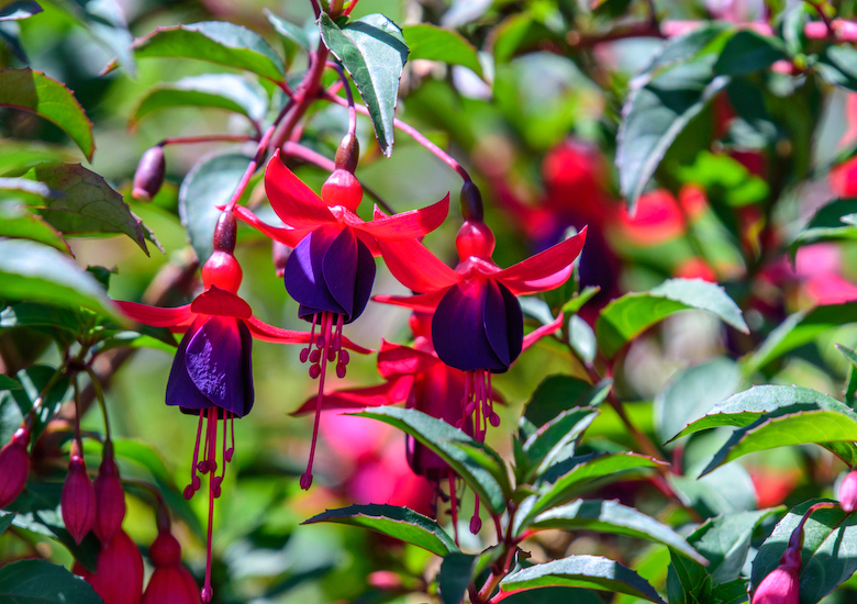 Fuchsia 'Lady Boothby' from Thompson & Morgan