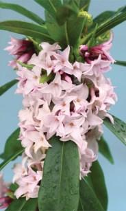 fragrant shrubs