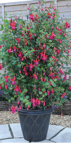 fuchsia summer care
