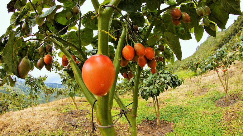 Tomatoes growing in the Andes