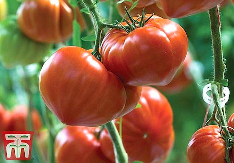 Tomato 'Gourmandia' F1 Hybrid from T&M