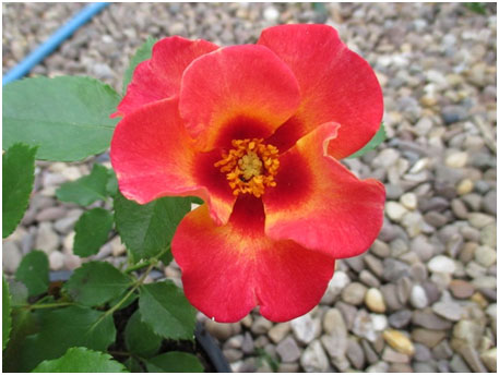 rose sweet spot calypso