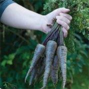 carrot-purple-sun