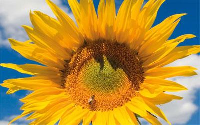 Wanted dead or alive – UK's tallest sunflower – £1,000 reward