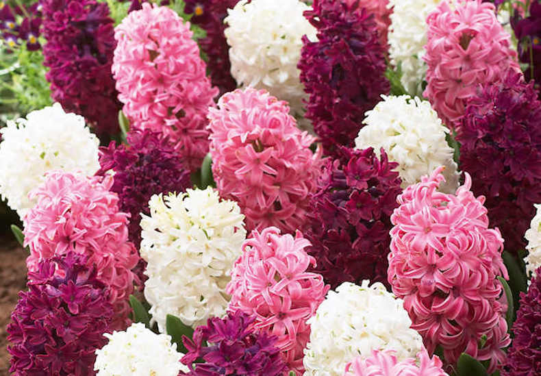 Hyacinth 'Pretty in Pink' Mix from Thompson & Morgan