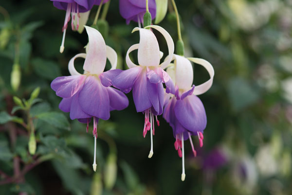 Fuchsia 'Mr Blue Sky'