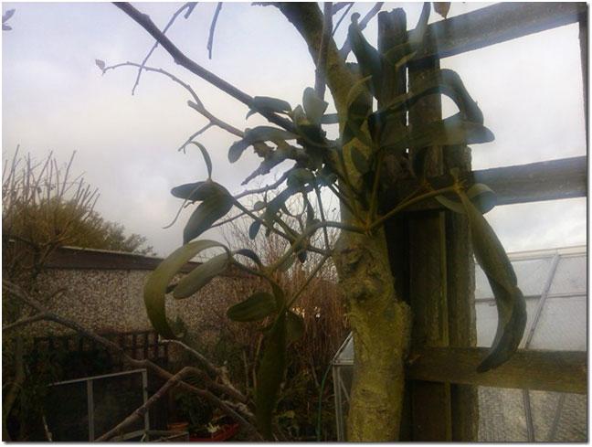 growing-mistletoe