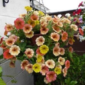 Petunia 'Peach Sundae'