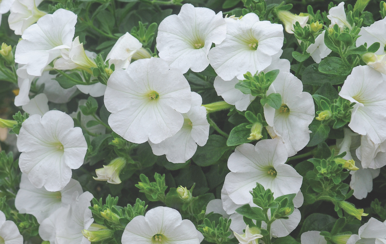 Petunia 'Trailing Surfinia White' from T&M