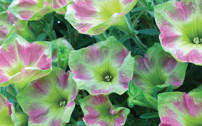Take a tour of our petunias with Michael Perry