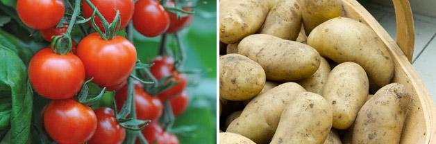 Tomato 'Mountain Magic' and Potato 'Jazzy'