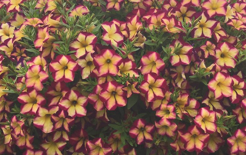 Petunia 'Surfinia Star Burgundy' from Thompson & Morgan