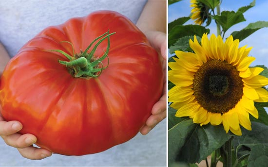 Tomato 'Gigantomo' and Sunflower 'Tall Timbers'