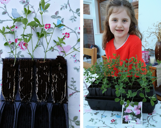 Sweet pea root trainer and Ruby with the Sweet Pea 'Eleanore Udall'
