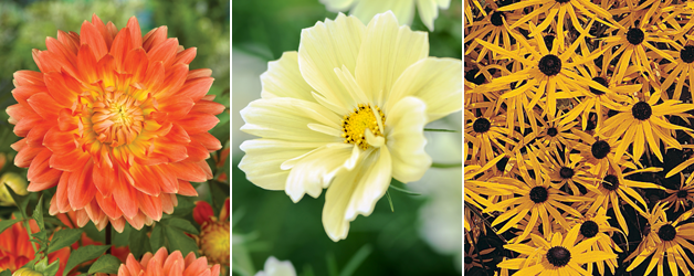Dahlia Orange' Motto', Cosmos 'Xanthos' & Rudbeckia 'Goldstrum'