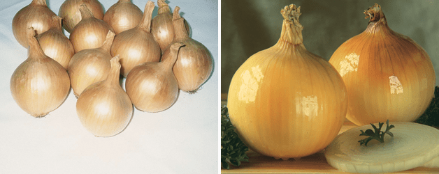 Onion 'Hercules' & Onion 'Golden Ball'