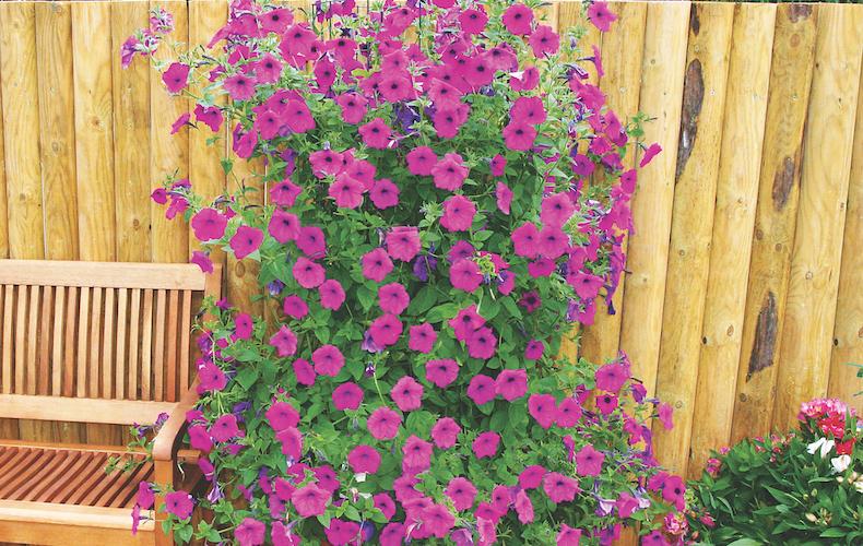 Petunia hybrida 'Purple Tower' F1 hybrid from Thompson & Morgan