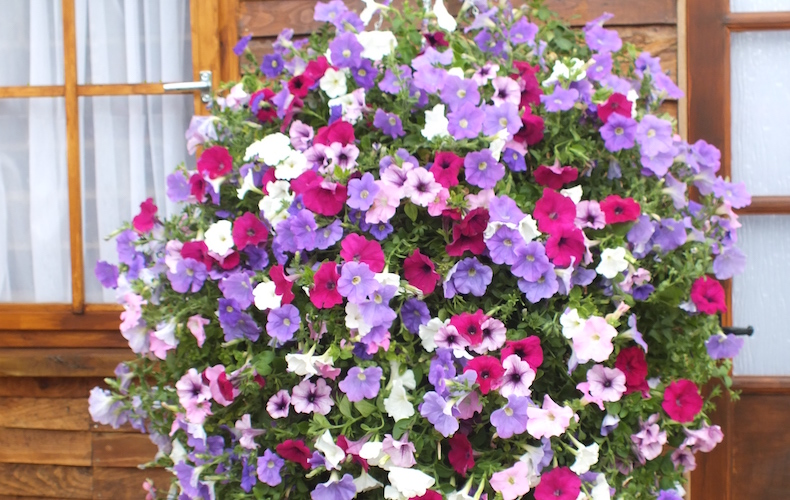 Petunia 'Surfinia' collection from Thompson & Morgan