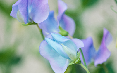 Expert tips for bigger and better sweet peas