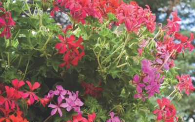 Trouble Shooting your Geranium growing problems