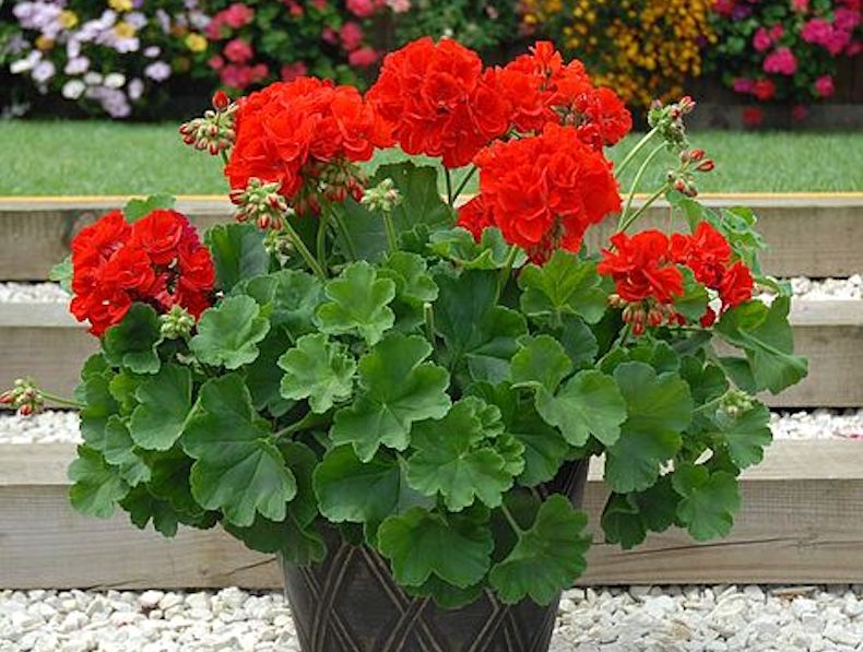 Geranium 'Power Red' from T&M
