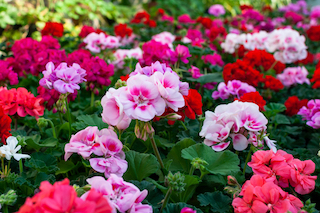 Geranium pests, diseases and other problems
