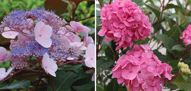 Hydrangea 'Hot Chocolate' and Hydrangea 'Endless Summer - Bloomstruck'