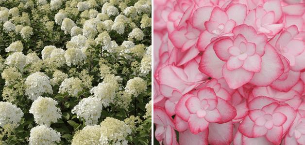 Hydrangea 'Bobo' and Hydrangea 'Miss Saori'
