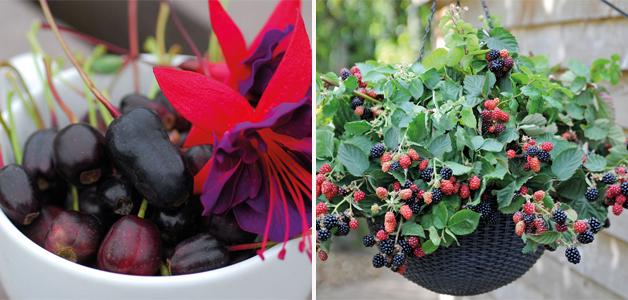 Fuchsia Berry & Blackberry 'Black Cascade'