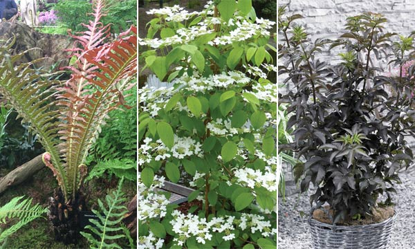 Blechnum 'Volcano', Viburnum 'Kilimanjaro Sunrise' and Sambucus 'Black Tower'