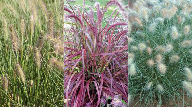 Pennisetum alopecuroides, Pennisetum setaceum 'Fireworks' & Pennisetum villosum 'Cream Falls'