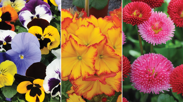 Pansy 'Matrix™ Mixed,' Polyanthus 'Firecracker' & Bellis 'Pomponette Mixed'