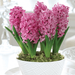 Hyacinth 'Scented Pink Pearl'