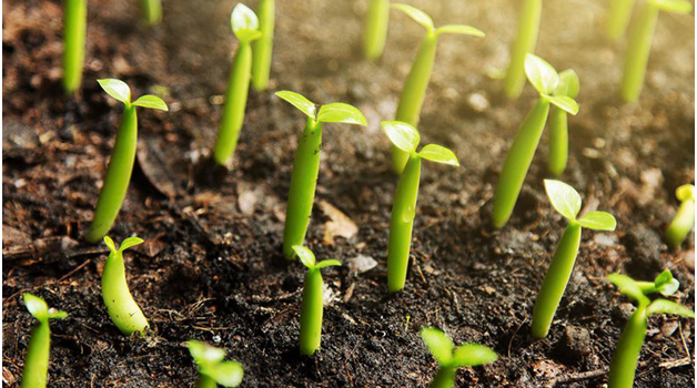 how to grow weed from seed in soil