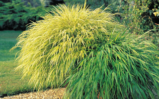 Grasses for winter interest