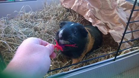 Guinea pig eating fuchsia flower