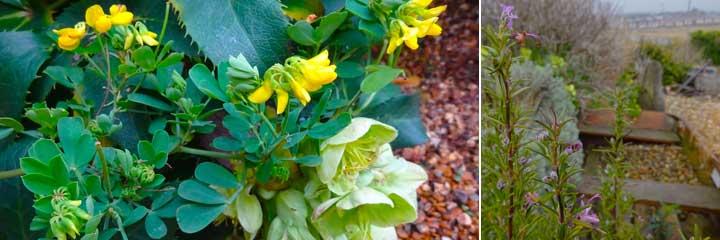 cornonilla, rosemarium