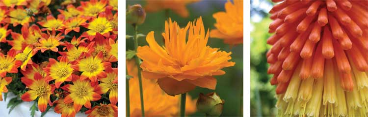 bidens, trollius, red hot poker