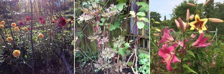 dahlias peony tree lili