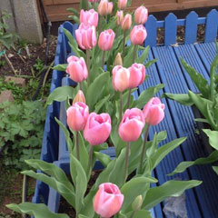 Andre Rieu Tulips