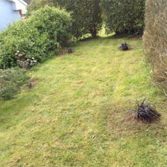 black mondo grass in lawn - March