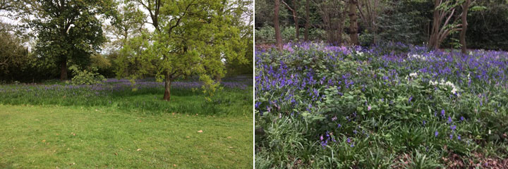 Bluebells at Easter