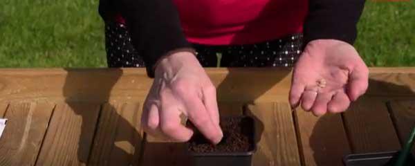pumpkin seed sowing