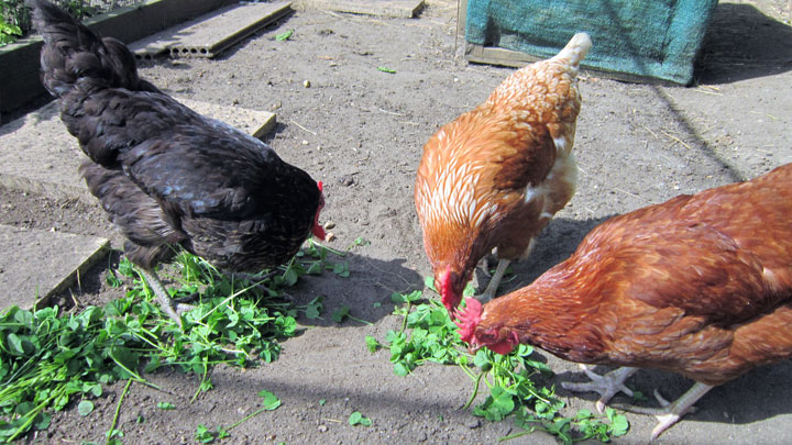 chickens eating weeds