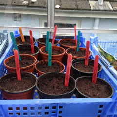 tomato seeds sown
