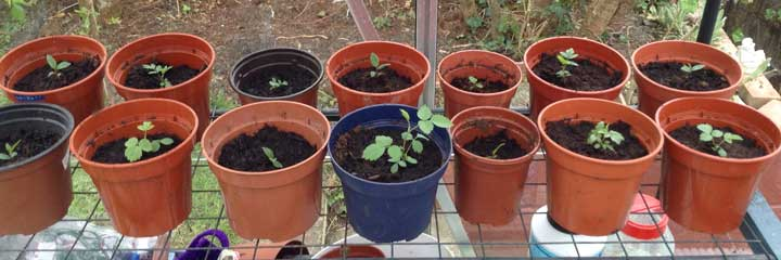 seedlings from woodland trust - April 2017