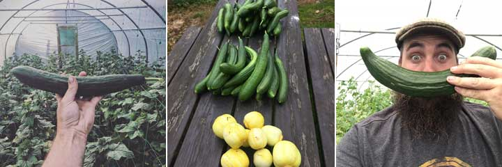 cucmbers harvested