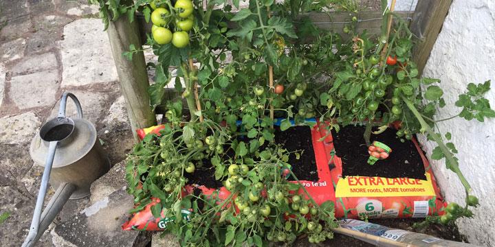 jack's tomatoes